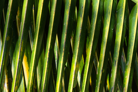 coconut palm tree leaves - shades and shadows close up
