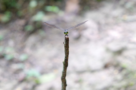 tropical dragonfly sitting on stick close up