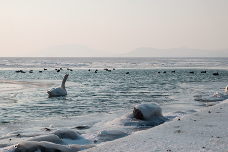 swan and mallards swimming on beautiful frozen lake in the afternoon, Balaton, Hungary, shape of hills in background