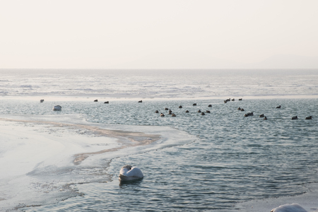 mallards and swan swimming on beautiful frozen lake in the afternoon, Balaton, Hungary, shape of hills in background