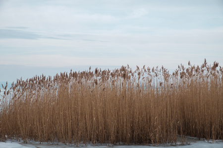 reeds on a frozen lake at lake Balaton - close up Imagens