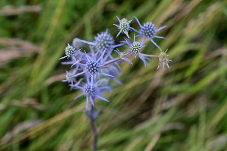 blue eryngo - Eryngium planum in green grass, close up