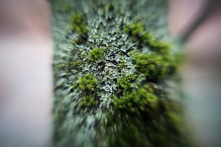 lichen and moss on bole - close up - short focus - blurred image