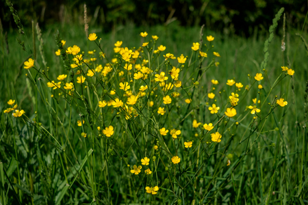yellow marsh-marigold flowers in the green grass, close up  agriculture and countryside - spring
