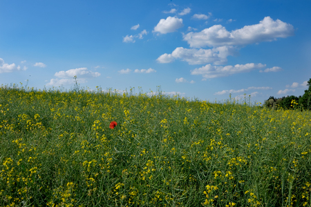 red poppy flower in green and yellow young colza field with forest in background and blue sky, Europe, Hungary  agriculture and countryside - spring