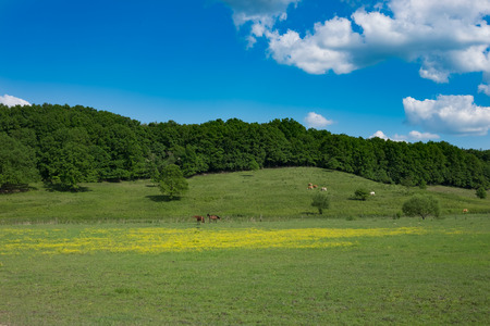 green meadow with yellow wild flowers and horses and cows and forest in background and blue sky, Europe, Hungary / agriculture and countryside - spring Imagens - 100588542