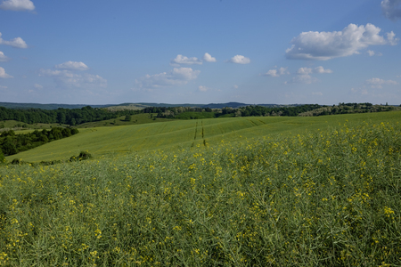 green and yellow young colza field with forest and hills in background and blue sky, Europe, Hungary  agriculture and countryside - spring