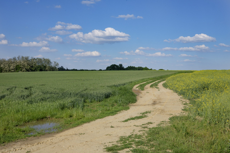 green and yellow young colza and weath field with dirty road and blue sky, Europe, Hungary  agriculture and countryside - spring