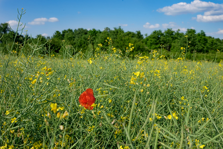 red poppy flower in green and yellow young colza field with forest in background and blue sky, Europe, Hungary / agriculture and countryside - spring Imagens - 100551350