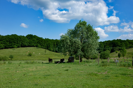 green meadow with with horses and forest in background and blue sky, Europe, Hungary  agriculture and countryside - spring