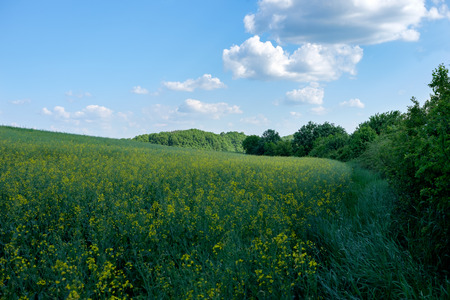 green and yellow young colza field with forest in background and blue sky, Europe, Hungary  agriculture and countryside - spring Imagens