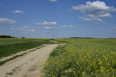 green and yellow young colza field with dirty road and blue sky, Europe, Hungary / agriculture and countryside - spring Imagens