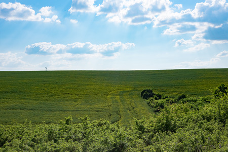 green weath field with forest in foreground and blue sky, backlight, Europe, Hungary  agriculture and countryside - spring Imagens