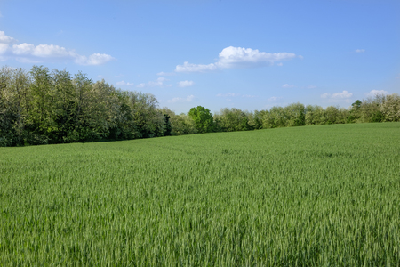 green young weath field with forest background and blue sky, Europe, Hungary  agriculture and countryside - spring Imagens