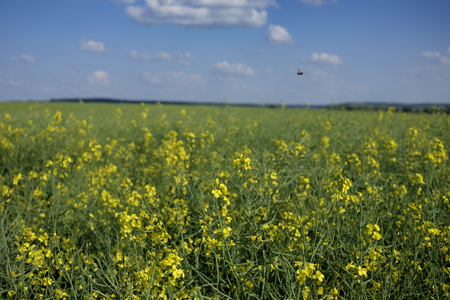 flying bug over green and yellow young colza field with forest in background and blue sky, Europe, Hungary  agriculture and countryside - spring