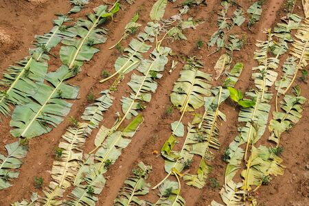 banana leaf cover on ground - pattern Imagens