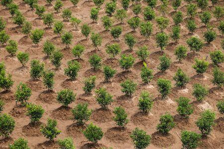 orange plantation pattern