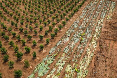 orange plantation and banana leaf cover
