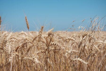 wheat spike and blue sky - close up