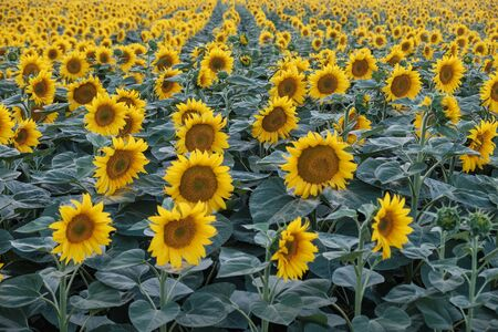 sunflower field Imagens
