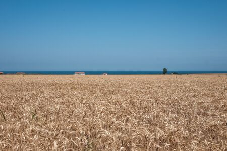 wheat field and the black sea in the summer