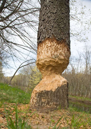 half cut: A beaver left the job half done!!! The tree is only half cut around Stock Photo