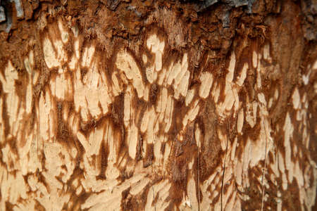 A Beavers bite, knaw, and claw marks on a tree very close up