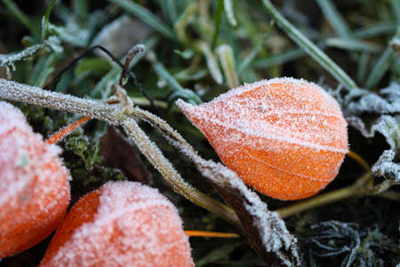 edge: Physalis flower on grass in the frost