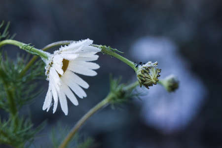 edge: last daisy flowers on a cold day Stock Photo