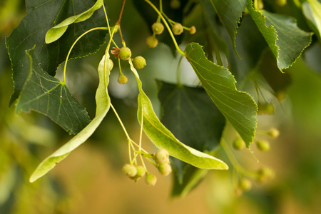 Linden tree seeds closeup on green leaves background Stock Photo