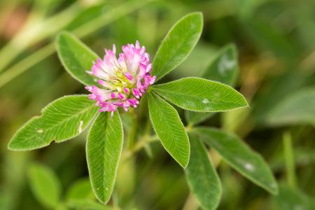 red clover: Red flower clover,Trifolium pratense