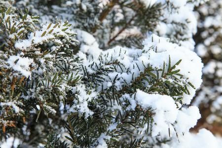 freshly fallen snow: Freshly fallen snow on Yew Tree
