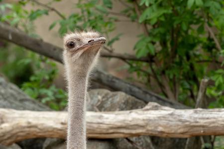 Close up view of an ostrich bird head. Portrait of an ostrich.