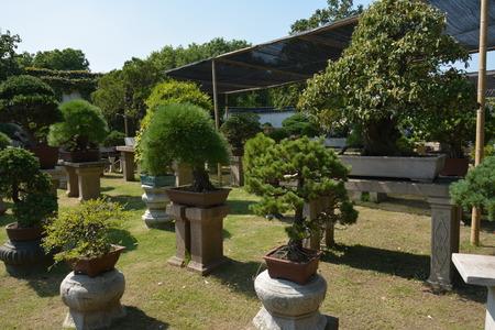 Bonsai tree in a garden. Row of bonsai trees. Foto de archivo - 111832794