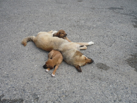 Adult brown dog with two brown puppies sleeping Foto de archivo - 111832929