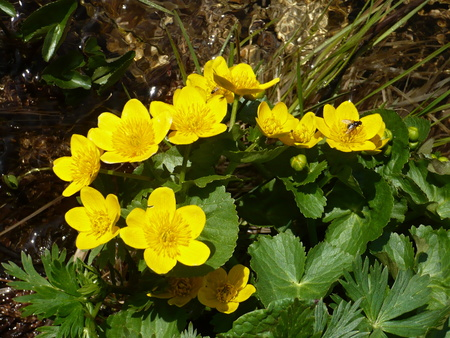 Caltha palustris-marsh plant with yellow petals.Spring blooms brightly. Foto de archivo - 120035058