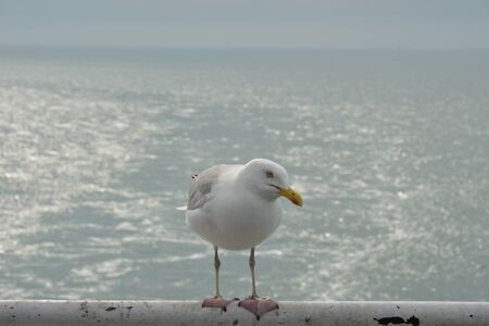 Gull sitting on the railing (Larus marinus) Foto de archivo - 130830028