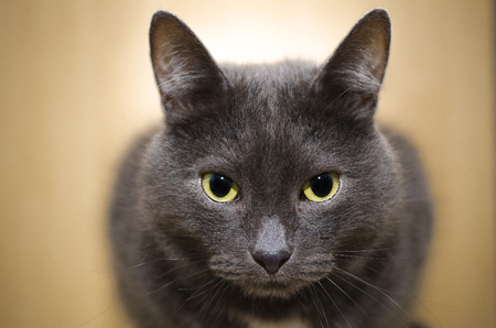 beautiful gray cat close up Stock Photo
