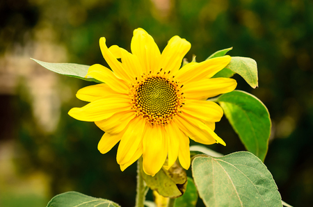 yellow sunflower on a green background