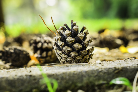 pine cone on the ground with fallen tree