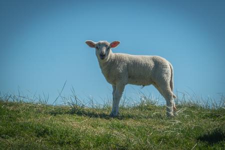 Lamb on the dike