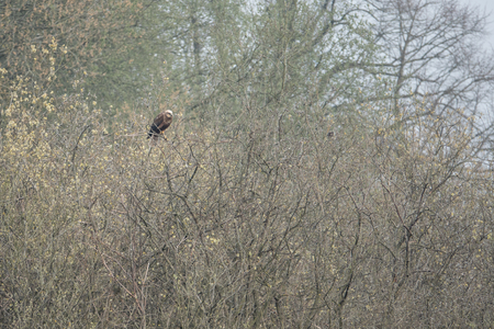 A red kite sits on a tree looking for food Stock fotó