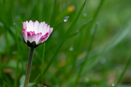 a daisy stands on a green meadow in the morning dew
