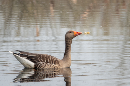 a greylag goose swims peacefully on a pond in the morning