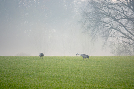 Cranes looking for food in a field early in the morning Imagens