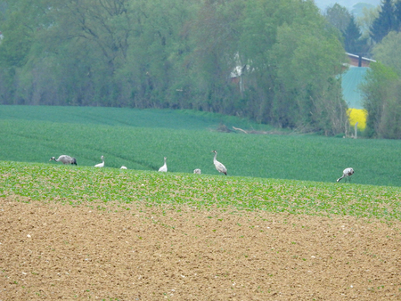 a group of cranes looking for food on a ploughed field Stock Photo