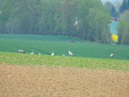 eine Gruppe Kraniche, die auf einem gepflügten Feld nach Nahrung suchen