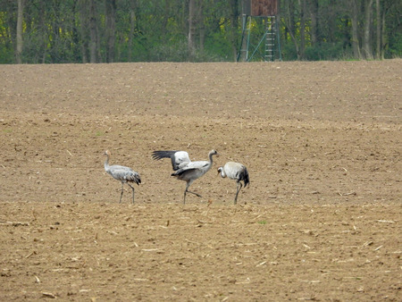 a group of cranes looking for food on a ploughed field Banco de Imagens