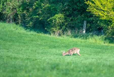 a young deer runs across a green meadow and eats grass