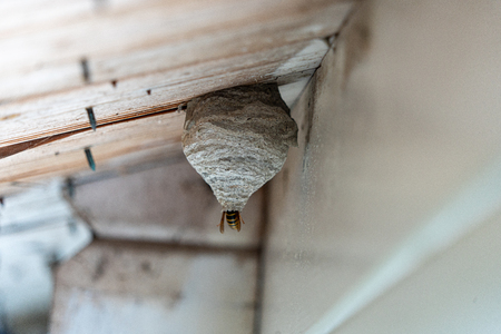 a black-yellow wasp builds a wasp nest under a wooden roof overhang